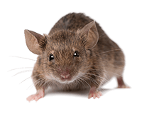 Rat img